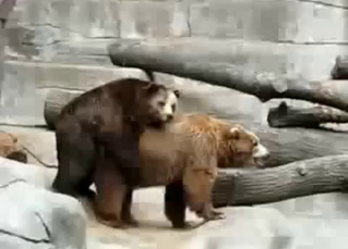 Two sexy brown bears have sex in the zoo